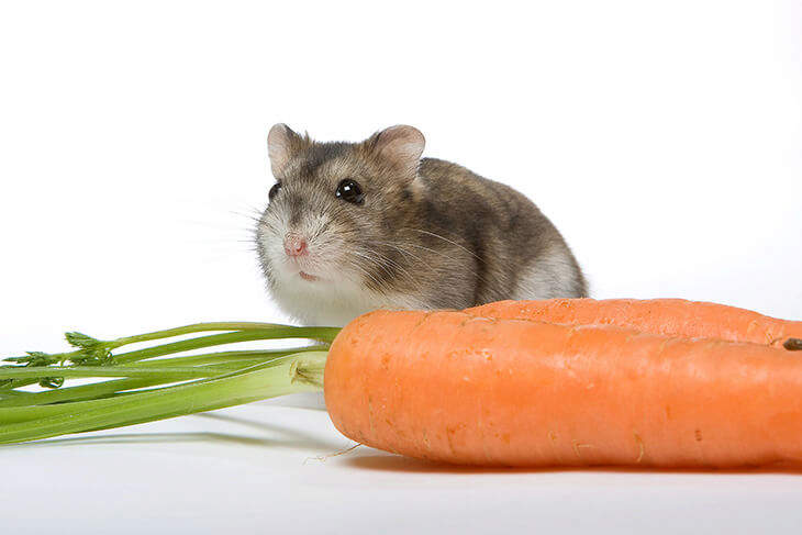 Hamster with Carrot