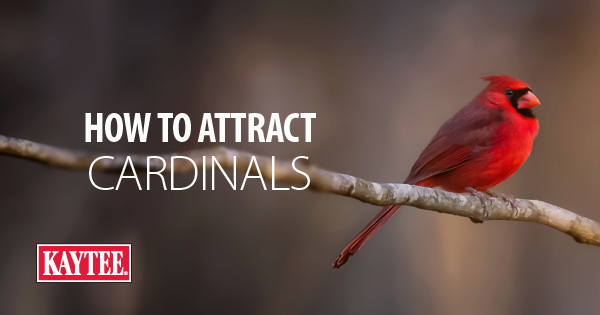 How to Attract: Cardinals