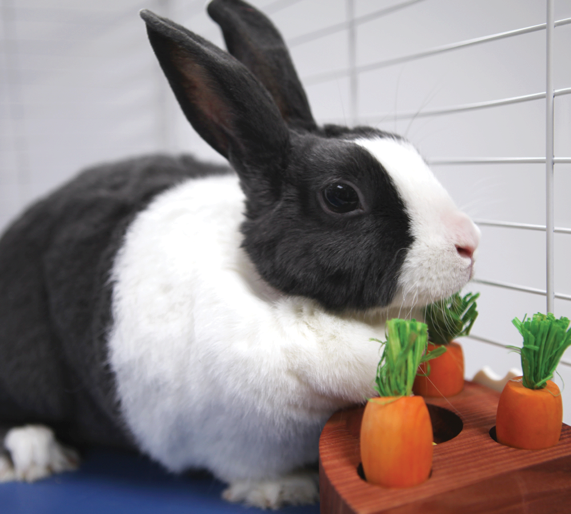 Rabbit Playing Carrot Toss Game