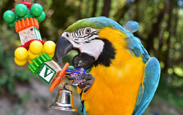 Macaw Playing with Toys