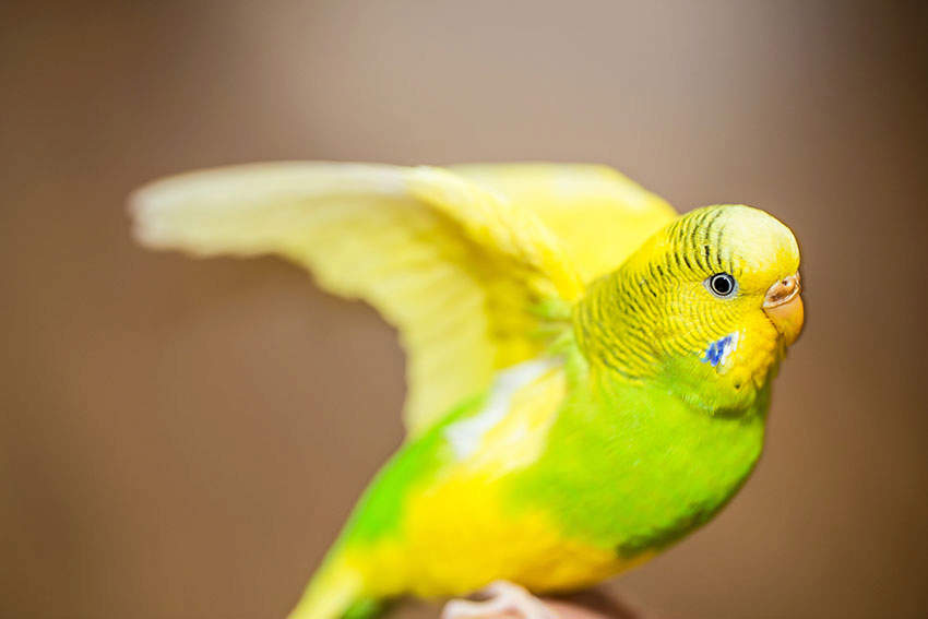Budgie Wing